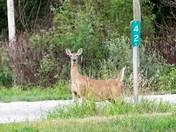 Highway 183 Deer