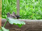 Bluebirds - Juvenile
