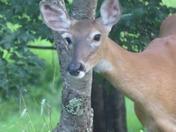 Deer - adult