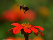 Bumble Bees & Pollination