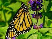 macro monarch