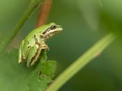 Tree Frog (1754)