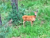 Whitetail Doe in the Forest