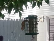 Chipmunk in the bird feeder
