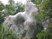 Massive Tent Caterpillar Infestation