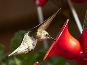 Hummingbirds do blink!