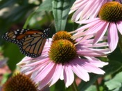 The Monarch and the Coneflower