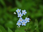 Don't Forget About Forget-Me-Nots