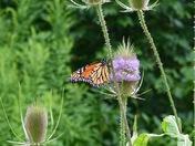Monarch Spotting