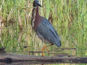 GREEN HERON ONE LEGGED  BANDIT !!