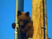 Bear cub goes to school