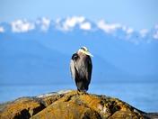 Heron in the sun.