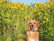 Sunflower Dog!