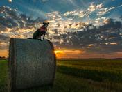 Wheat King