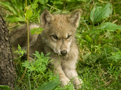 Timber Wolf Pup Resting