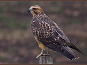 Swainson's Hawk (juvi)