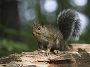 Grey Squirrel in the Maple Forest