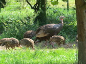 Hen Turkey and Chicks