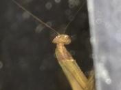 Posing Praying Mantis
