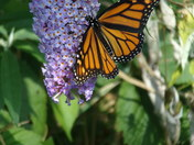 Butterfly Bush Blossom has visitors
