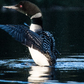 Loon dancing above the water