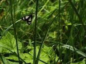 Zebra Conchylodes Moth