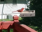 red cardinal  feeding for winter