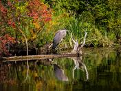 Heron On A Log