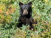 Young Black Bear (2643)