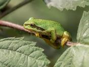 Tree Frog (2561)