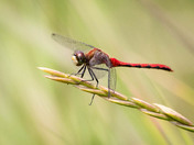 Beautiful darter