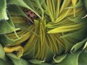 Snug as a bug in a bud