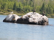 Cormorants in the sun