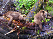 Grizzly Cubs Playiing in the Rain...