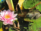 Pink Water Lily and Frog