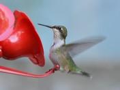 """Hummingbird Don't Fly Away..."""