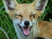 Fun with Foxes