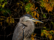 Blue Heron With Fall Colours