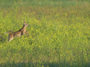 A fawn jumping in oil fields