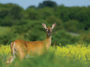 An alert doe in the morning