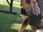 Lobo is urgent!  5yo very small b/w tan boy, just 21 lbs needs rescue