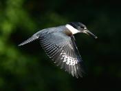 Kingfisher / Martin-pêcheur