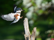 Kingfisher landing / Atterissage