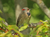 The yellow shafted  flicker