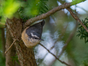 Red-bellied Nuthatch