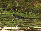 A nother woodduck