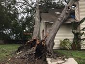 Oak Tree down (Holden Heights)