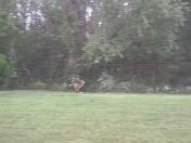 dispaced and confused deer in my yard