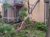 Pine tree full down on my wall house
