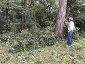 Multiple Trees Down in Parents' Yard